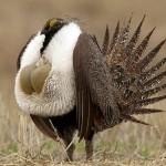 خطة اتحادية امريكية جديدة للحفاظ على طائر الطيهوج الأكبر